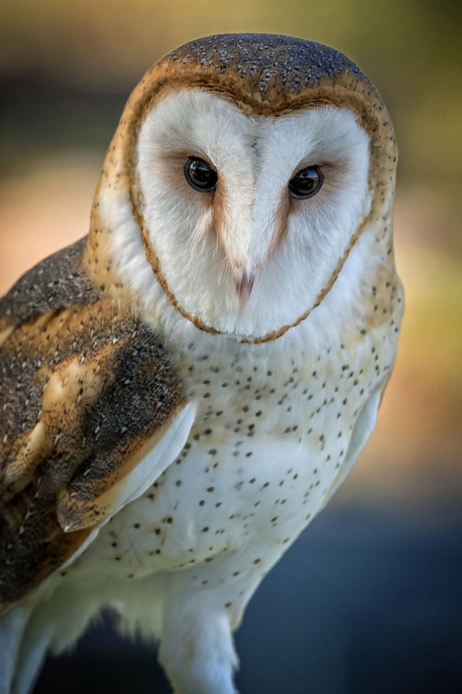 """Hawk Watch"" @ Wildlife Research Institute in Ramona, CA by markkrause - Beautiful Owls Photo Contest"