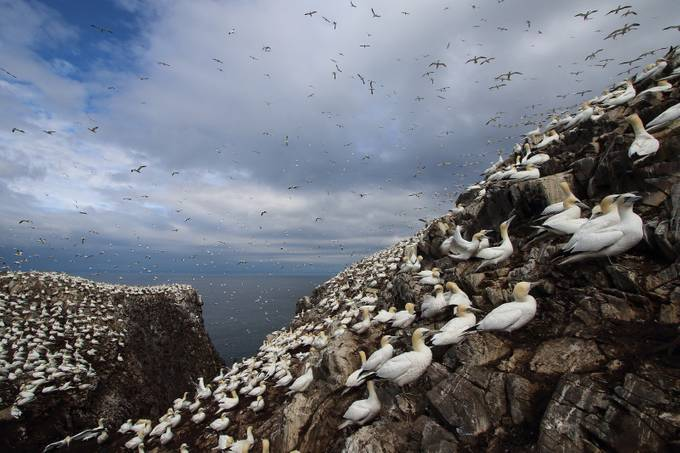 Gannet colony, Bass Rock, scotland by alainmauviel - Spectacular Cliffs Photo Contest