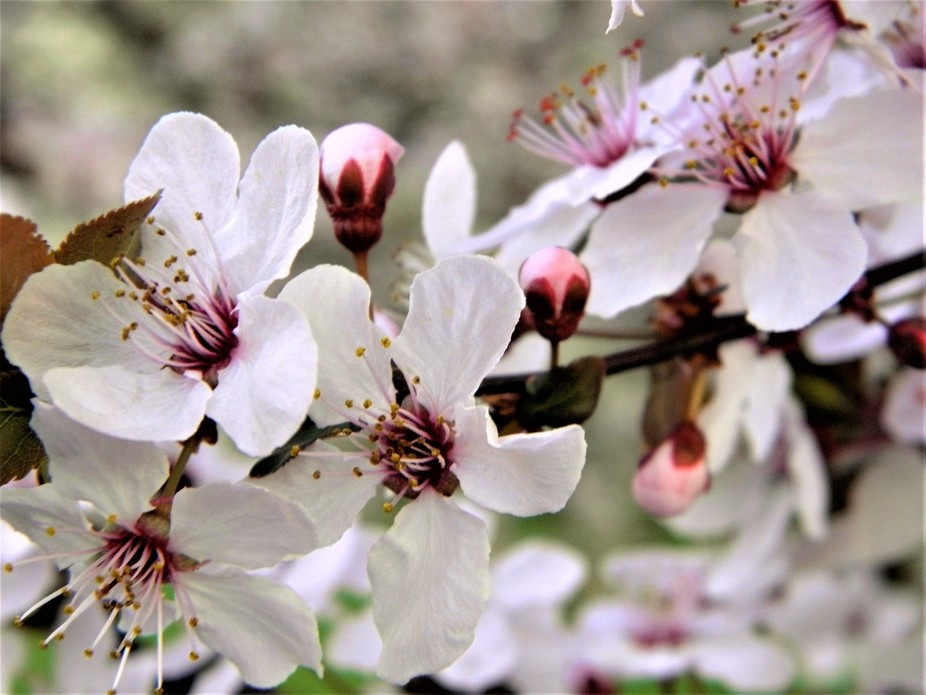 Blooming Plum tree.