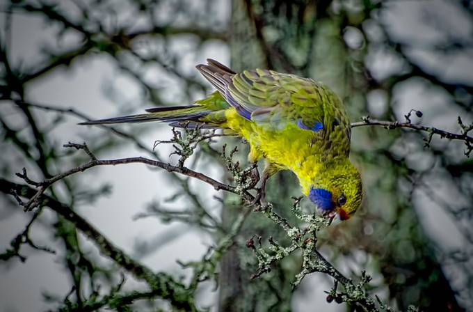 Tasmanian Green parrot feasting on the last of the dried berries.