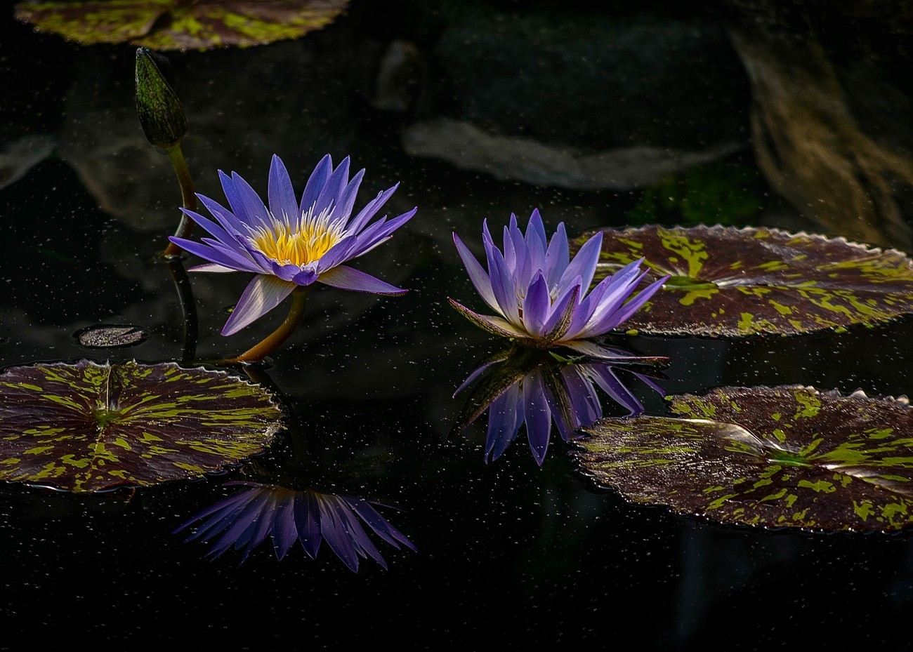 I photographed this lily pond at a pond vendor near Wilsonville, Oregon. The lighting was fantastic since the ponds were covered with a translucent white cover that dispersed the light perfectly. The reflections are so perfect, that it reminded me of a mirror reflection on a glass tabletop.