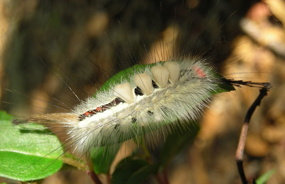 Hairy Caterpillar in Shade