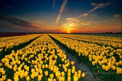 Wonderful Tulips in Holland