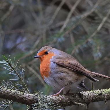 Rockin Robin