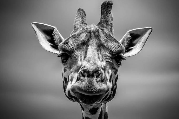 Giraffing around by Drewfurlan - Above Or Below Photo Contest