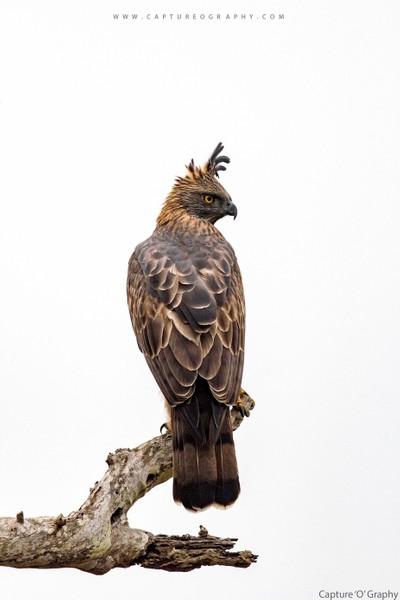 Hawk_Eagle_Bandipur