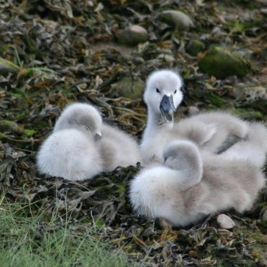 Soon be Time for more Swan Juniors