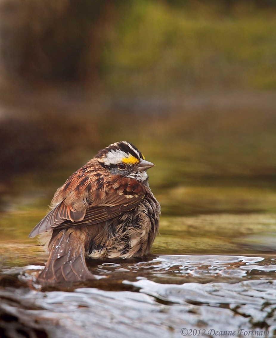White-throated Sparrow by deannefortnam - Above Or Below Photo Contest