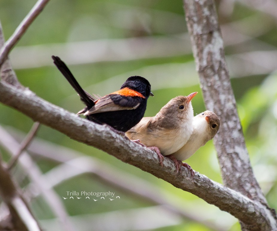 Red-Backed Fairy Wren and his Juveniles
