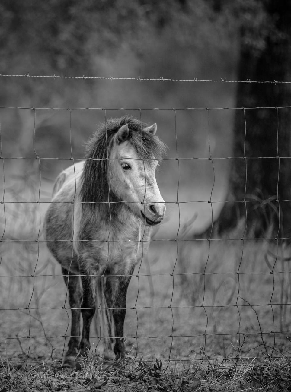 Pony B-W