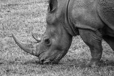 Rhinoceros Wrinkles