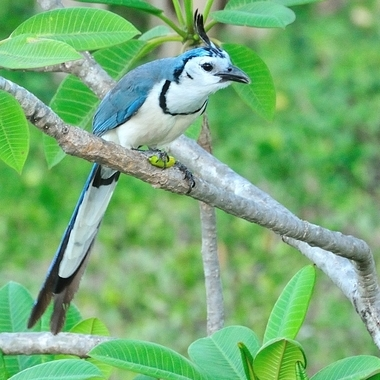 A blue Jay showing off his plume.Captured in Costa Rica