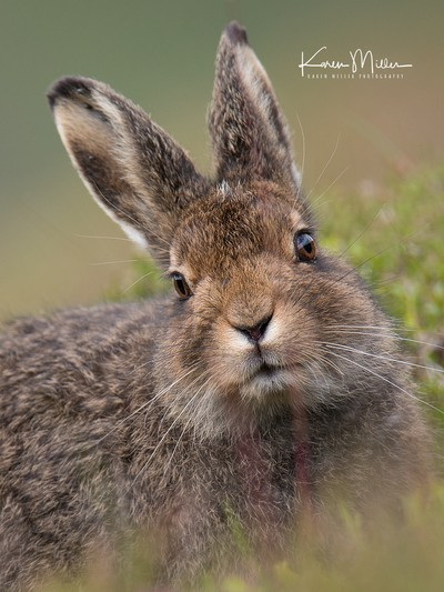 Portrait of a Mountain Hare