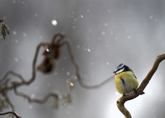 Blue tit in snow by lindapersson - Image Of The Month Photo Contest Vol 18