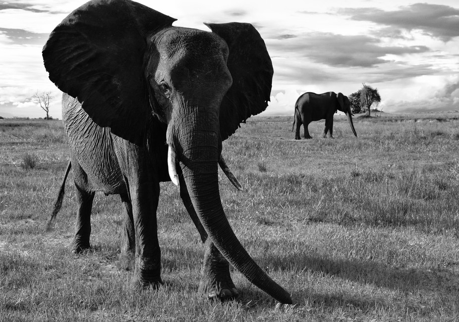 An elephant postures as he nervously detects a possible threat in Botswana