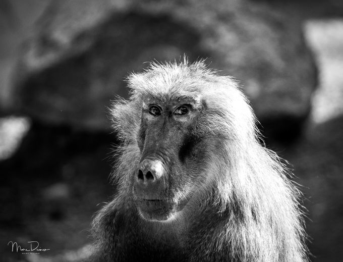 I'm watching you by marcdicino - Animals In Black And White Photo Contest