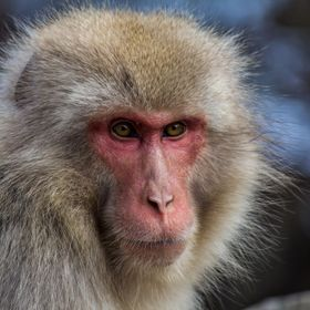 A snow monkey in Japan stops and stared at one of us - the concentration and focus is amazing