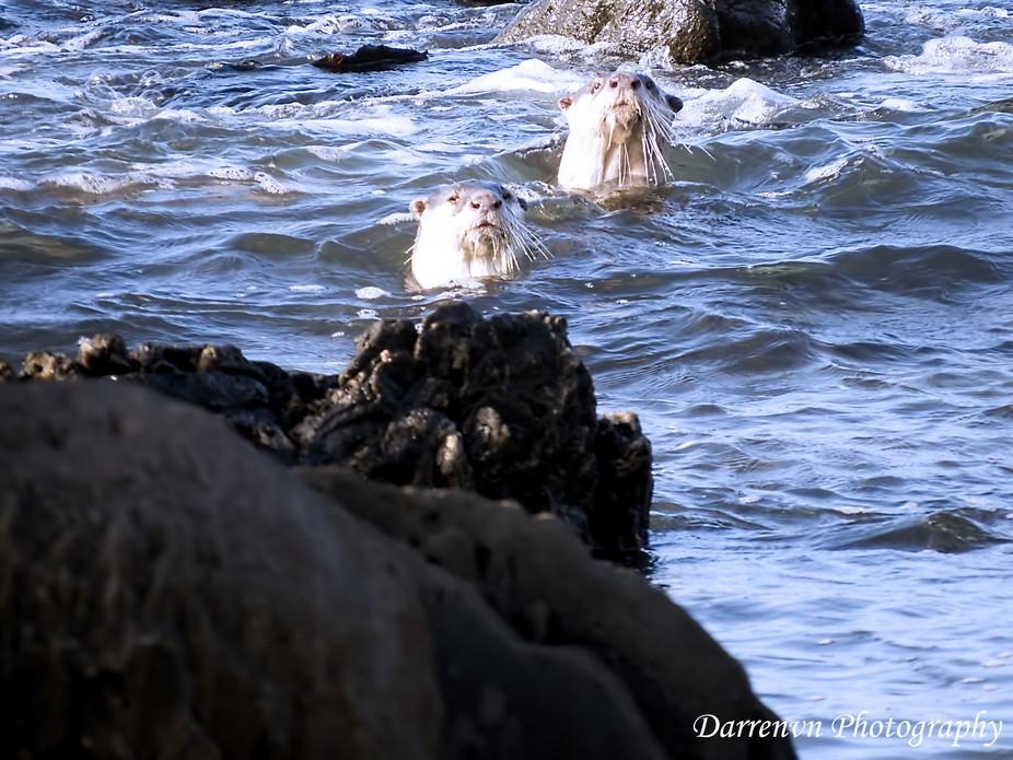 Curious Sea Otter - Kini Bay
