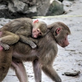 mantle baboon carrying a child on back
