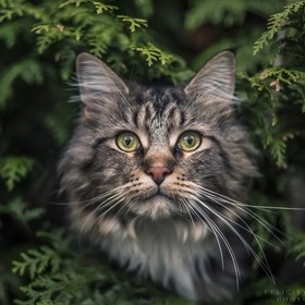 This is Taco, a beautiful Maine Coon cat from my neighborhood :D