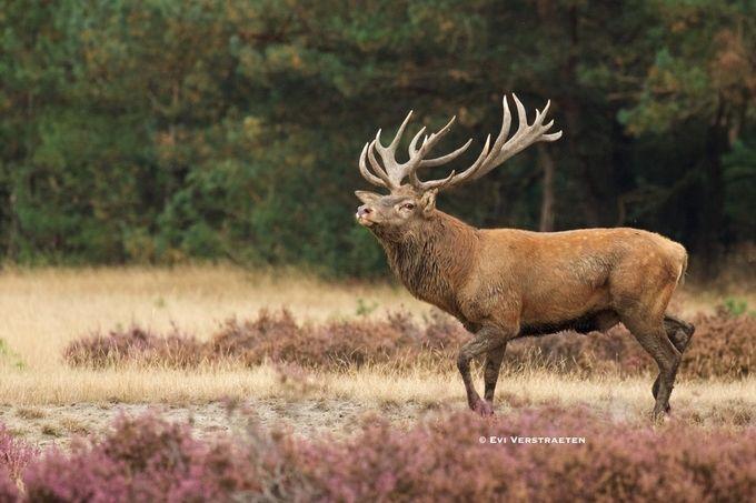 Impressive Deer by Evi_Verstraeten - My Best Shot Photo Contest Vol 3