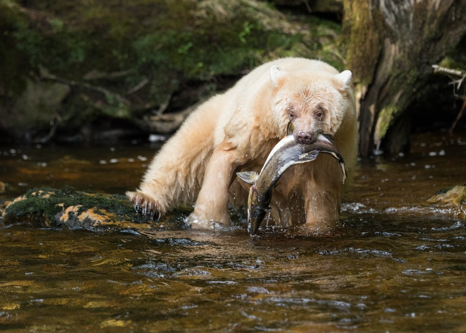 White Kermode bear, Great Bear Rainforest, British Columbia
