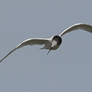 Young White Fronted Tern