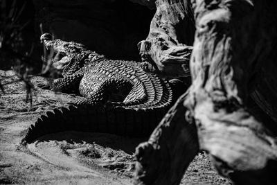 BW Crocodile