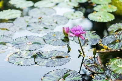 Water lily floating on water surrounded by green leaves.