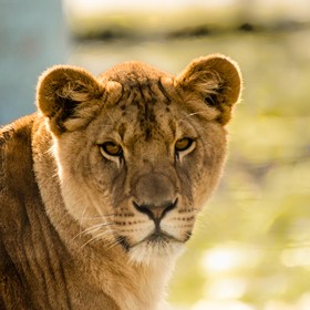 My family and I went to the Wildlife Safari and this lioness kept staring at me with  such intensity that I felt like she was trying to tell me s...