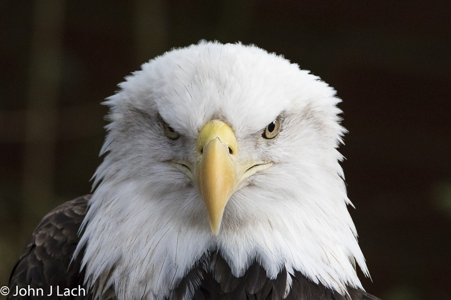 Serious look from an American Bald Eagle.