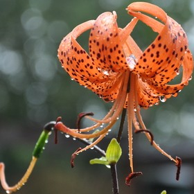 I have many tiger lilies in my yard. After a rainfall I went outside and saw this beautiful flower with raindrops clinging to it. A great opportu...