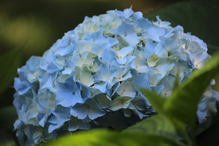 Blue Hydrandea grow everywhere on Martha's Vineyard!