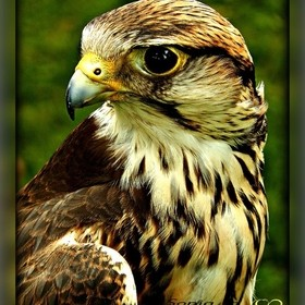 Beeing part of Middle Age Activities all through Belgium made me discover those amazing birds of prey... Although I prefer them free in Nature, s...