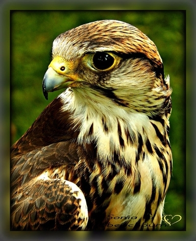 Peregrine Falcon from Belgium