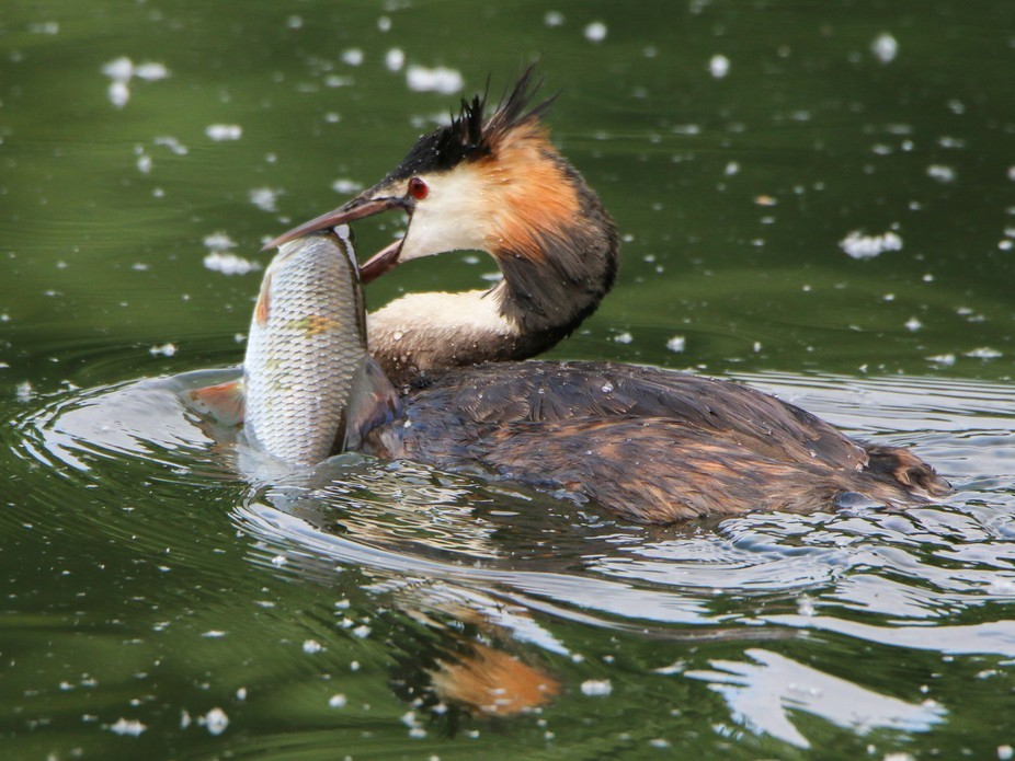 Our local Great Crested Grebe get really hungry and are just great fishers.
