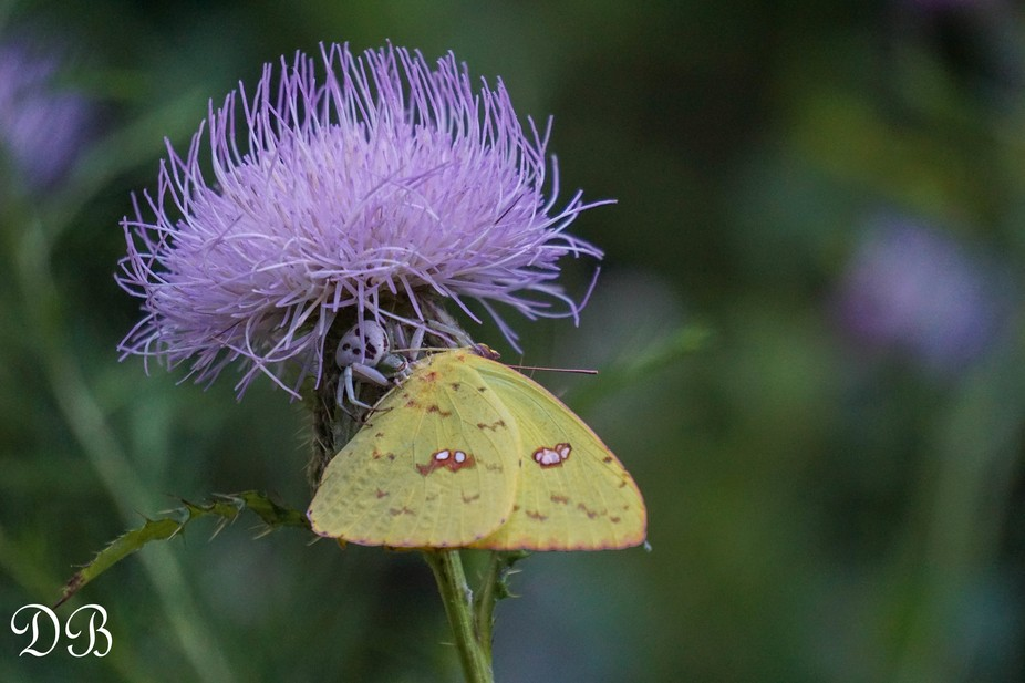 I was surprised when this Sulphur butterfly was so still as I approached for a photo. upon furthe...