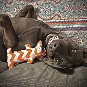 This is Goober with one of his favorite toys.  I often catch him laying on the couch like this.  Most of Goober's other toys have been thoro...