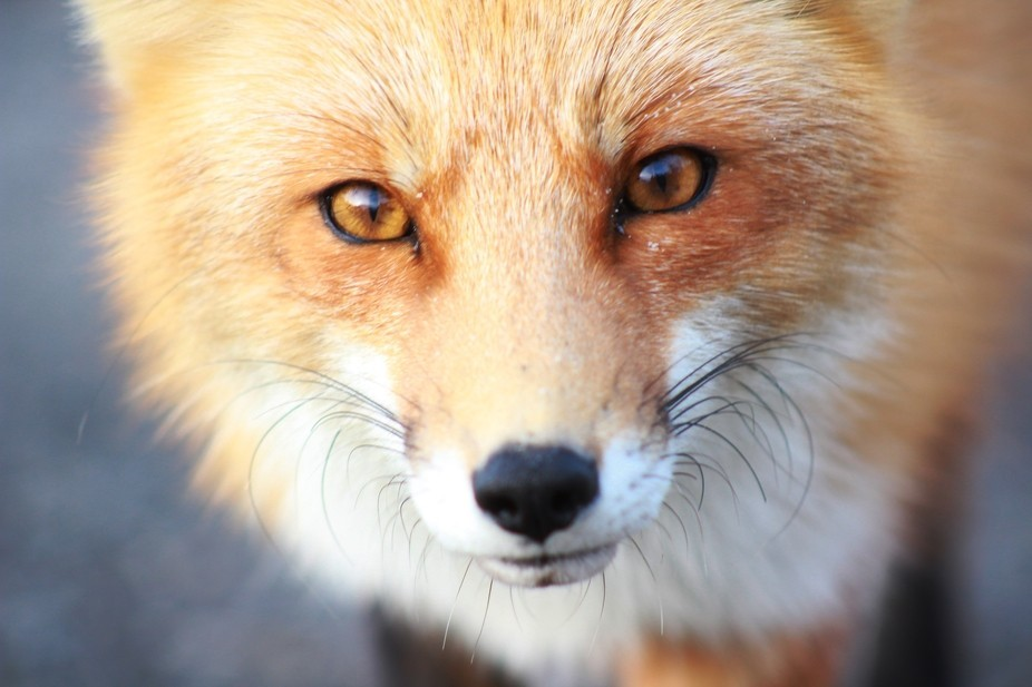 Fox at IBSP are tolerant of people. Just don't feed them or try to pet them.