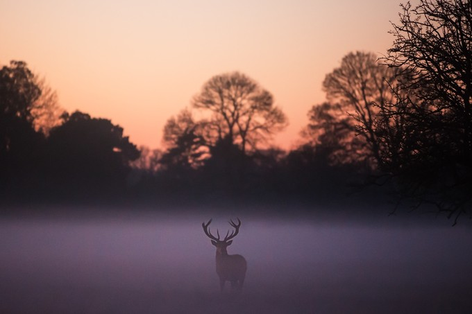 Stag by phillipfrench - Depth In Nature Photo Contest