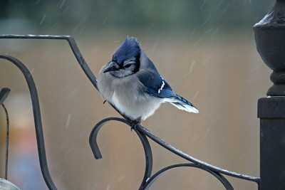 Blue Jay during a snowstorm