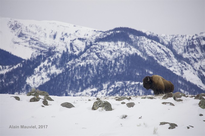 Lone bison by alainmauviel - Isolated Photo Contest