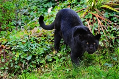 The prowl of the Panther