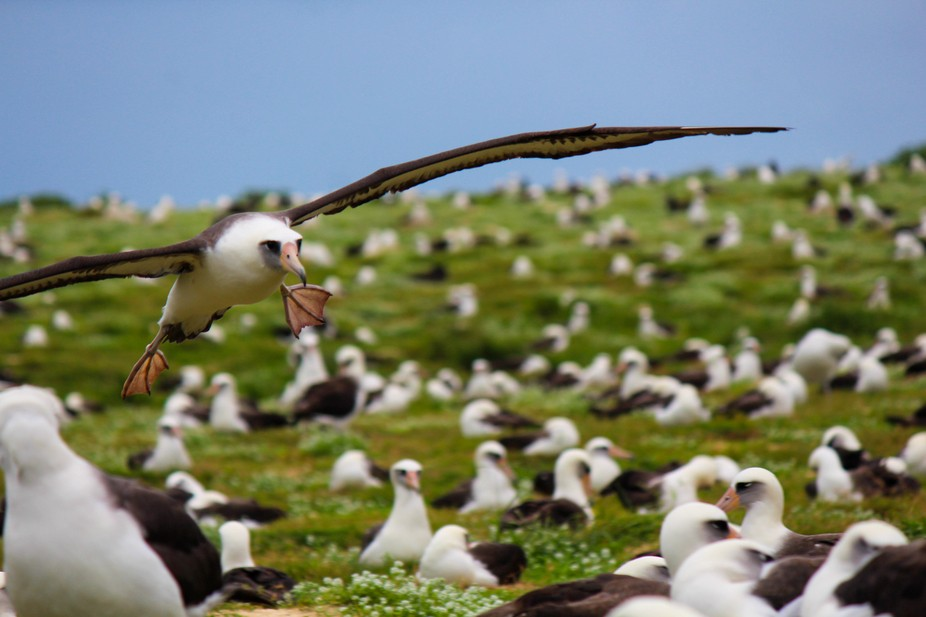 Albatross are not known for being the most graceful of landers but this one was doing ok.