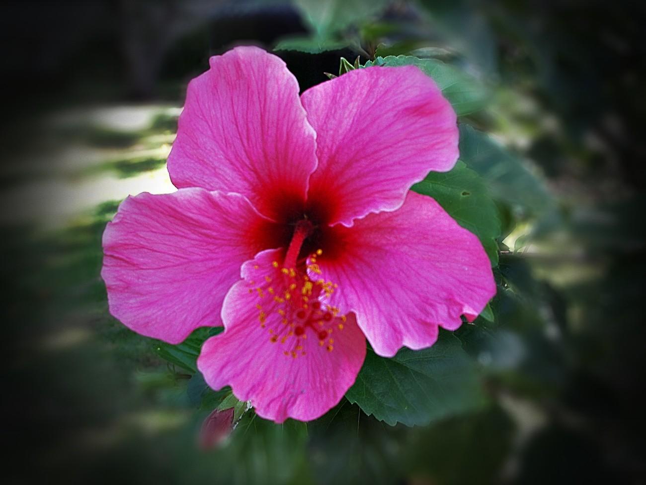 Hawaiian Hibiscus 2