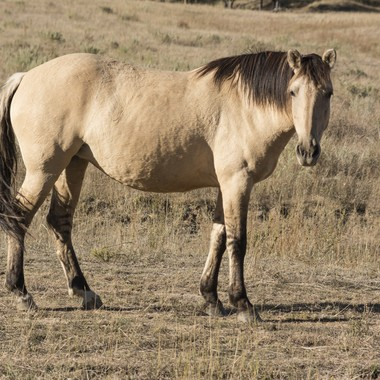 Honey the Mustang Mare