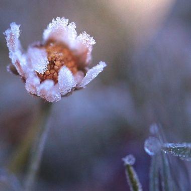Iced daisy