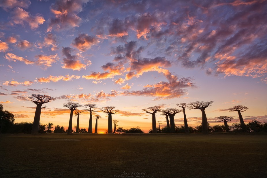 Avenue of the baobabs at sunset, Morondava, Madagascar. July 2016.  This is an amazing place in M...