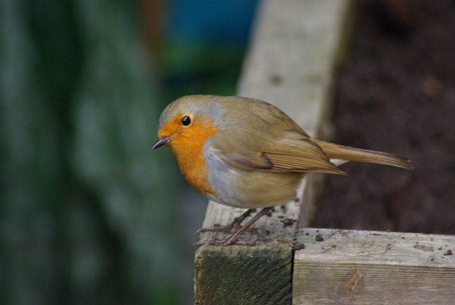 our three friendly Robins of our garden