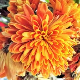 A close-up photo of a orange chrysanthemum in a vase